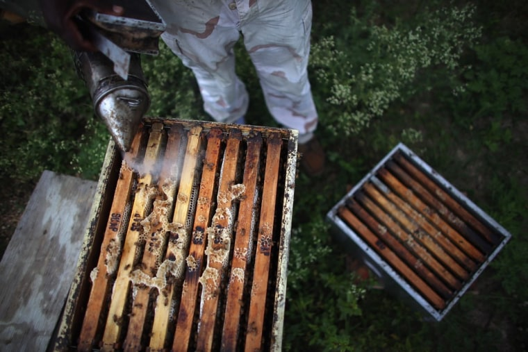 Steve Corniffe works on collecting honey produced by the bees at the J & P Apiary and Gentzel's Bees, Honey and Pollination Company on April 10, 2013 ...