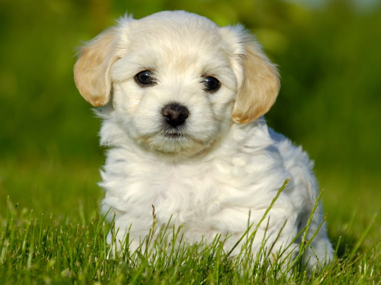 This adorable puppy is loaded with bacteria, but those germs may actually be beneficial.