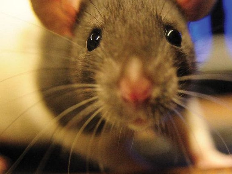 Googly eyes help rats keep watch on the sky