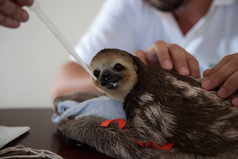 In Paramaribo, Suriname, sloths displaced by deforestation are rescued and released back into the wild with the help of  Green Heritage Fund Suriname.