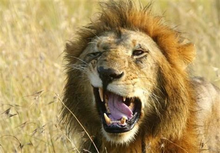 This lion was photographed on the Masai Mara plains in Kenya. A new study finds that the king of beasts could be doing his share of the hunting after all