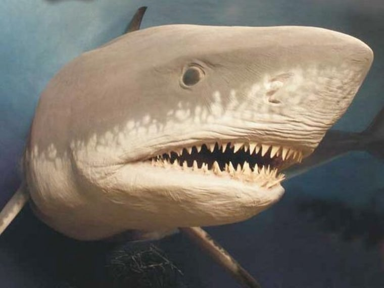 Extinct Megalodon, the largest shark ever, may have grown too big