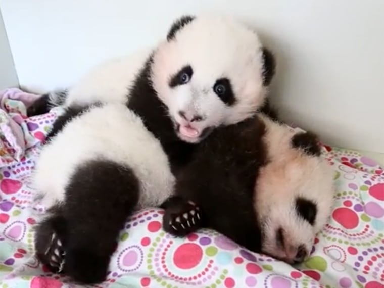 This sleepy baby panda keeps getting poked by his brother,