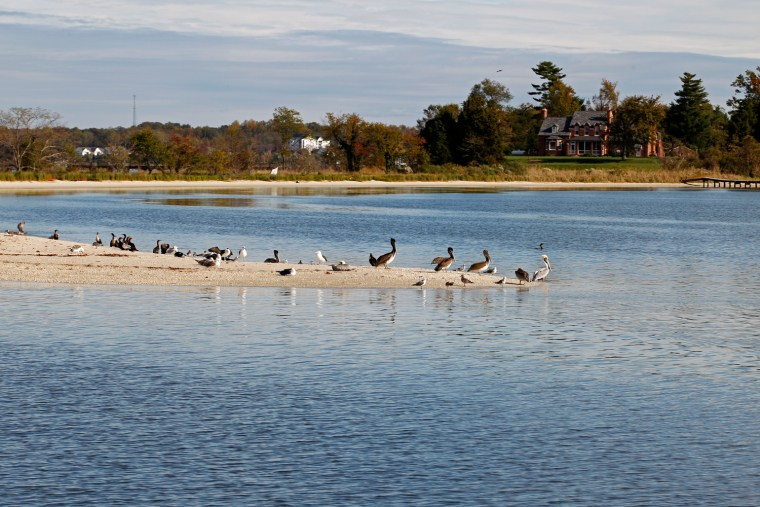 Pelicans are seen in a sand bar from the research vessel Kerhin on Thursday Nov. 1, 2012. Researchers are fanning out across the Chesapeake to see ...