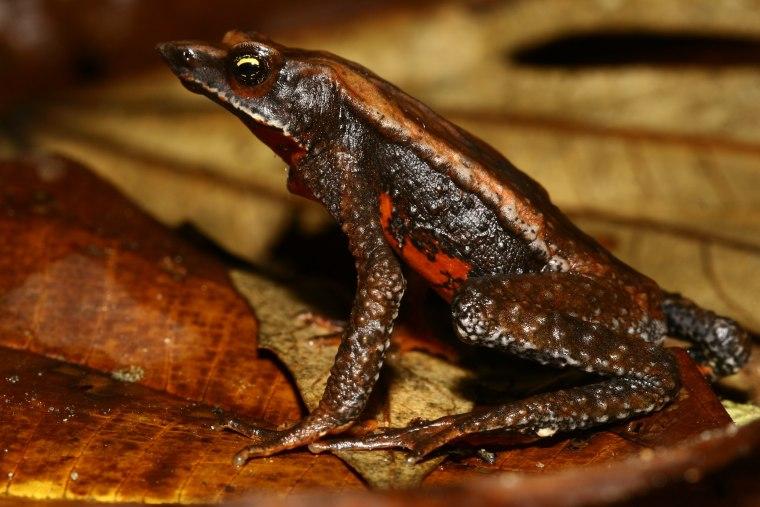 The critically endangered harlequin frog Atelopus nahumae