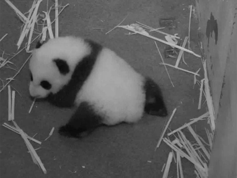 panda cub crawls