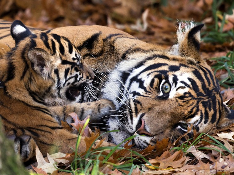 Tiger cub plays with momma