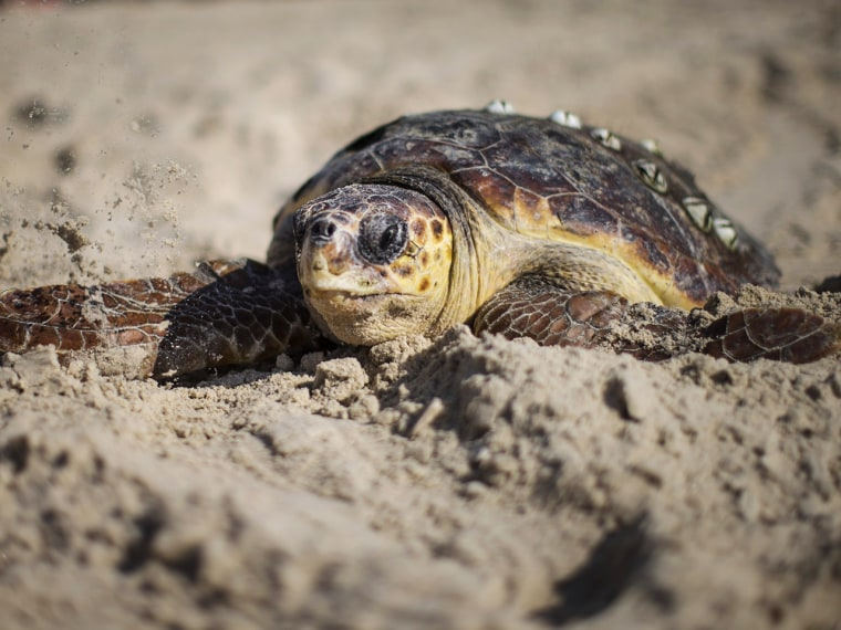 A baby turtle crawls toward the sea.