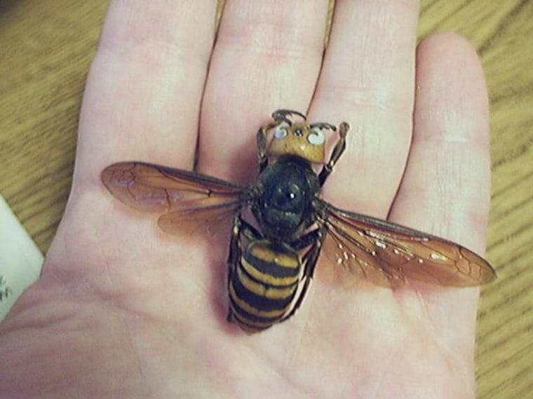 chinese giant hornet - 640×480