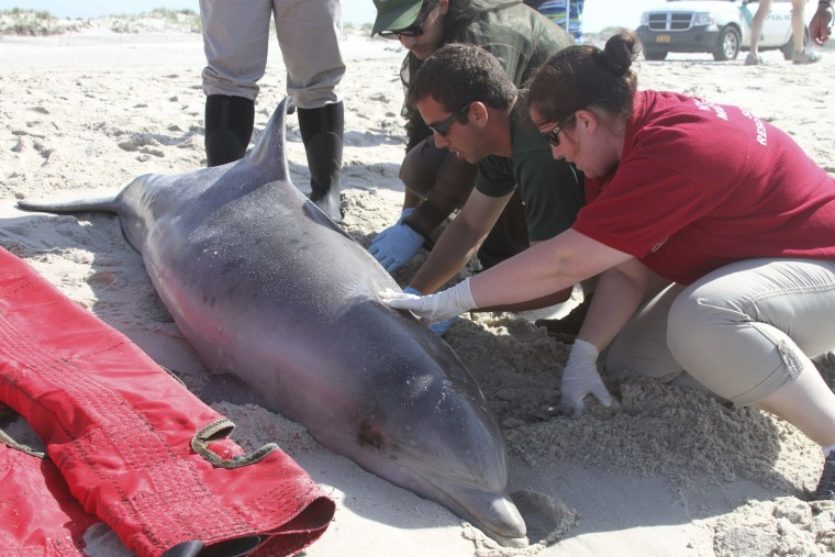 Officials examine a dead bottlenose dolphin that washed ashore on the Long Island, New York shoreline in this August 9, 2013 file handout photo courte...