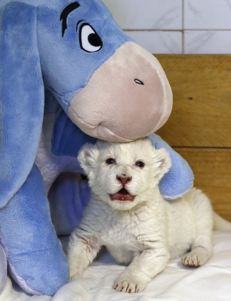 "An eight-day-old white lion cub plays with a soft toy donkey at Belgrade's ""Good hope garden"" zoo, October 4, 2013. The female white lion cub, still u..."