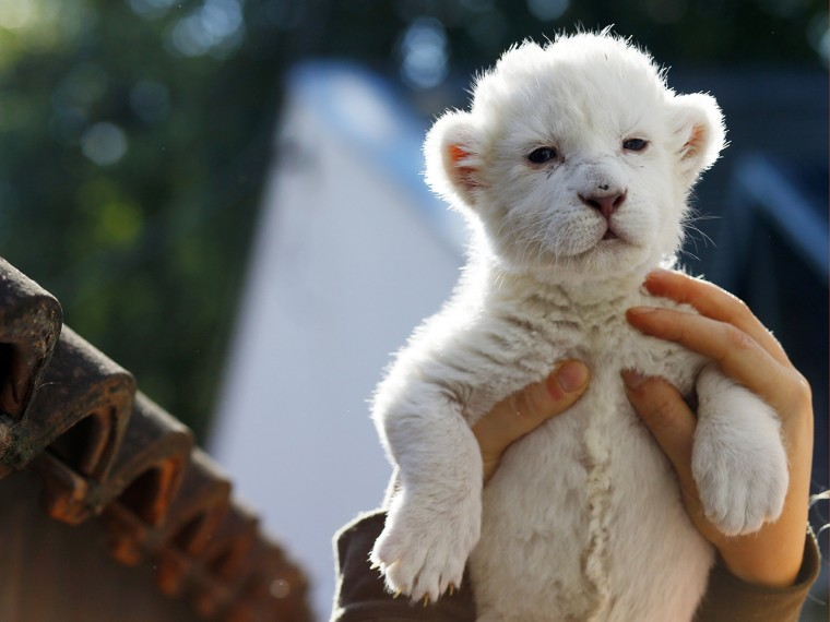 "A zoo volunteer holds an eight-day-old white lion cub at Belgrade's ""Good hope garden"" zoo, October 4, 2013. The female white lion cub, still unnamed,..."