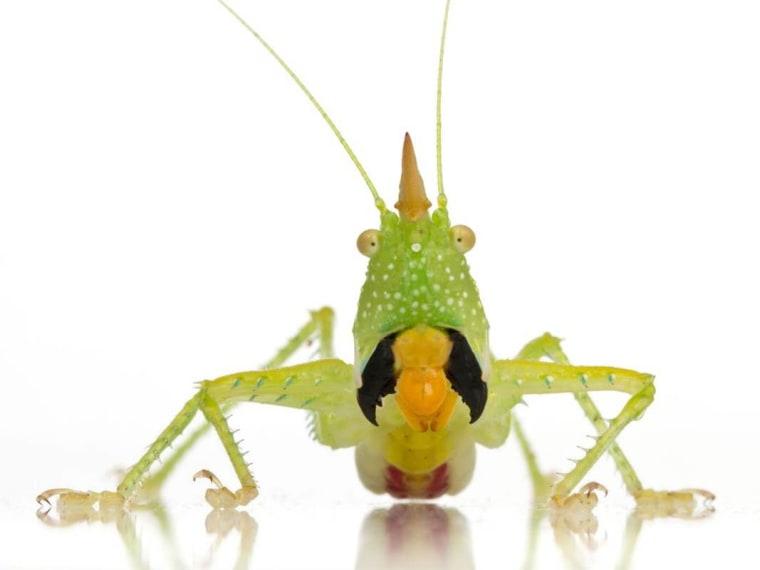 Image: Conehead katydid