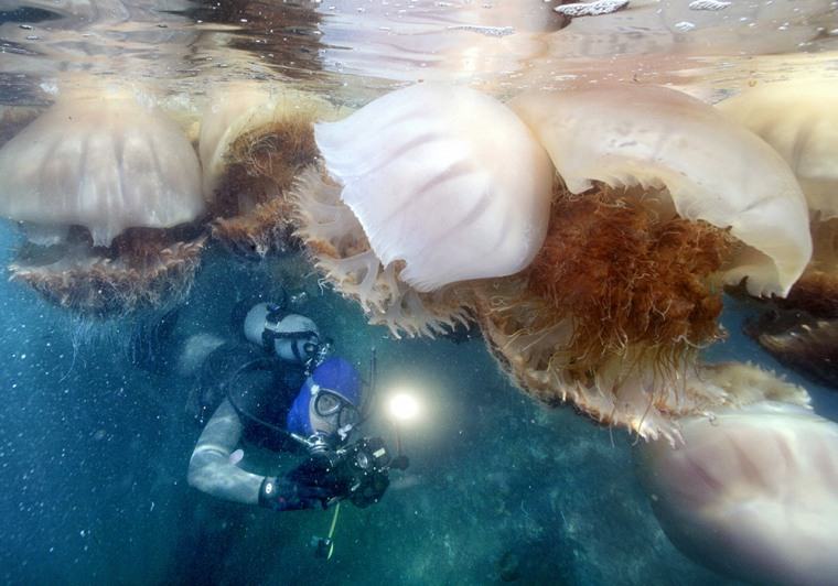 A diver swims near a school of giant jellyfish each nearly 1 meter in diameter in the Sea of Japan off the town of Echizen, Fukui Prefecture, in Oct. ...