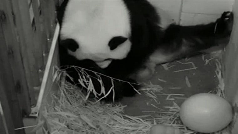 With the government shutdown having come to an end, the National Zoo in Washington D.C. announced that its 24-hour panda cam will be returning on Thursday so everyone can get back to watching giant panda Mei Xiang (above).