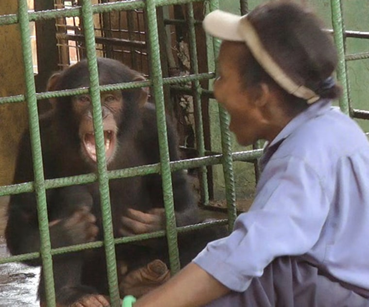 Chimps start catching yawns from humans after about the age of five.