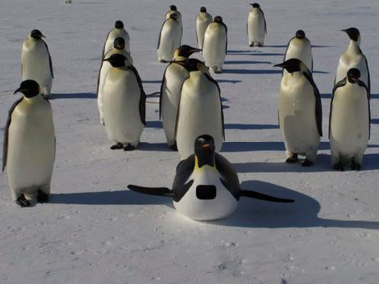 Some Penguins Hanging Out With Real Flocks Are In Fact Discovery Channel Cameras That Can Even Swim And Lay EggsJohn Downer Today
