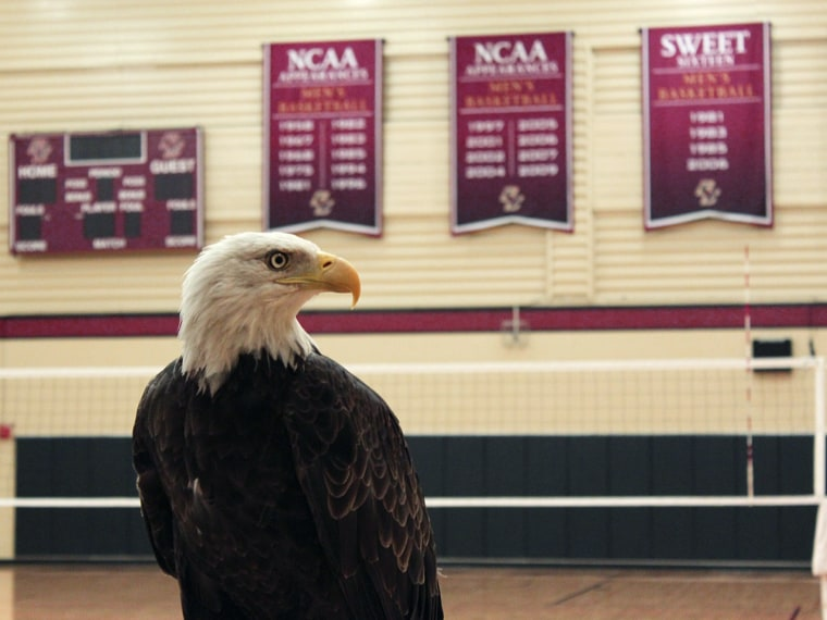 A live bald eagle will once again serve as the mascot for Boston College, nicknamed the Eagles, by appearing at home football games for the first time since 1966.