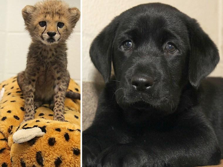 Dallas Zoo will raise cheetah cubs with special friend — a Labrador puppy