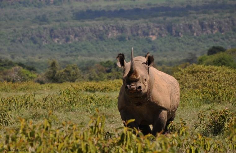 Image of a black rhino.