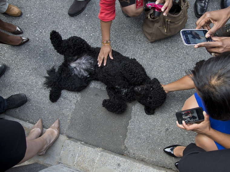 Sunny, President Barack Obama's new dog is surrounded by members of the press during a walk at the White House on Monday, Sept. 9, 2013 in Washington....