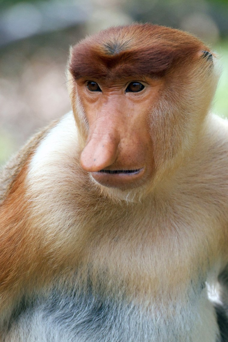 A proboscis monkey sits at a sanctuary in Malaysia's Sabah state, Borneo, in 2012. Expanding palm oil plantations in Malaysian Borneo are rapidly eati...