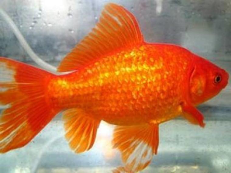 Image: Goldfish
