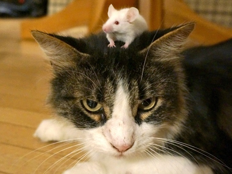 T gondii makes mice lose their fear of cats.
