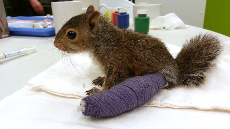 The baby squirrel is expected to be in her cast for about four weeks.