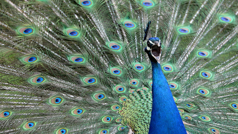 Image: A male peacock shakes his brightly colored feathers