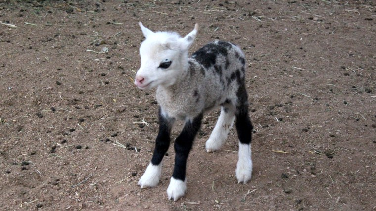 baby geep a cross between a goat and a sheep is stealing hearts