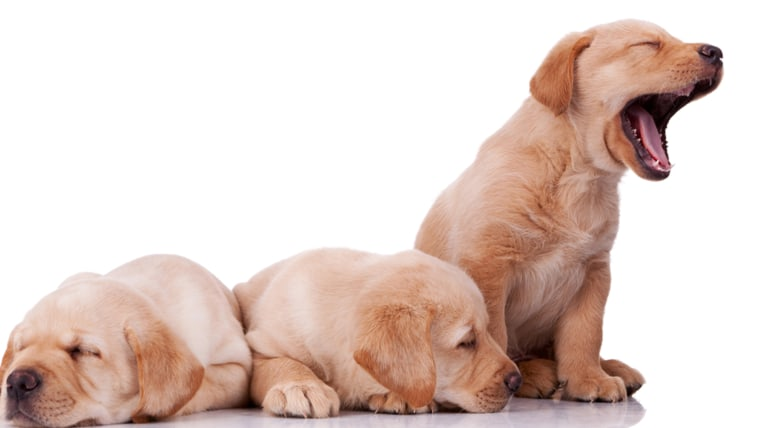 labrador retreiver puppy, sleepy