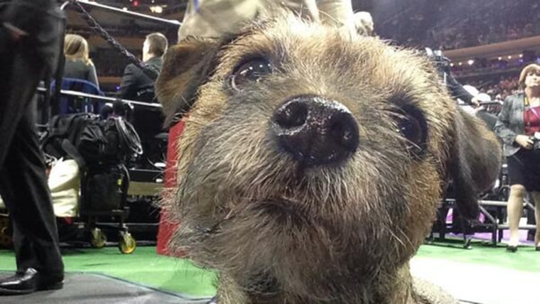 A terrier tweets a selfie at the Westminster Dog Show.