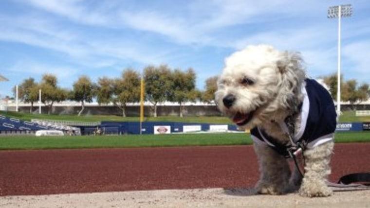 Hank the dog overlooks the baseball field.