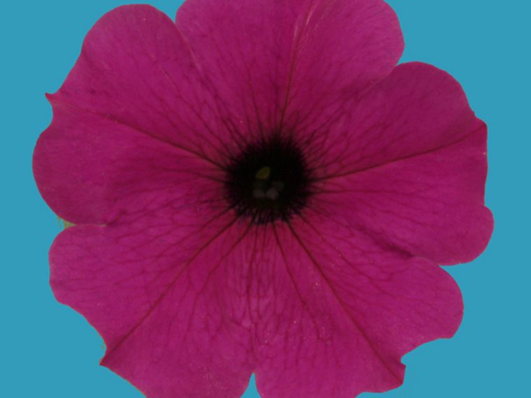 Rare blue petunias get their color from a malfunctioning molecular pump.