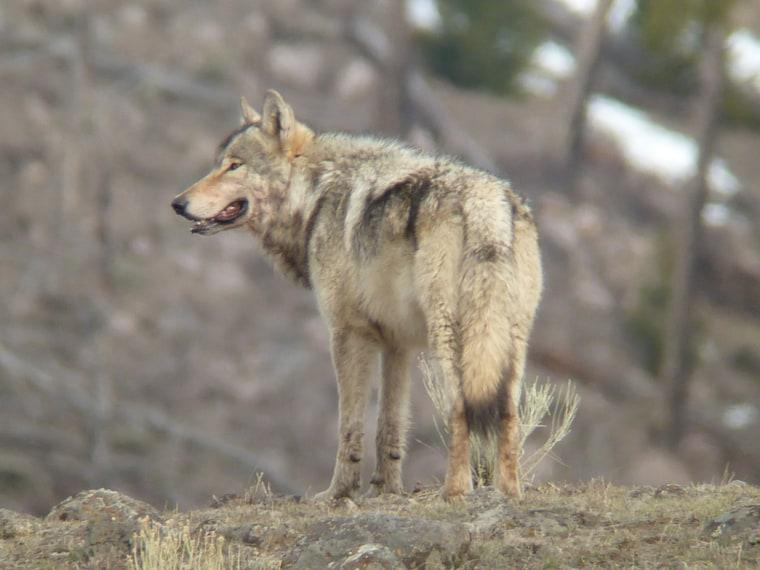 Wolf i n Yellowstone