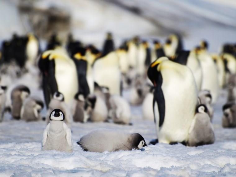 An emperor penguin colony in Antarctica.