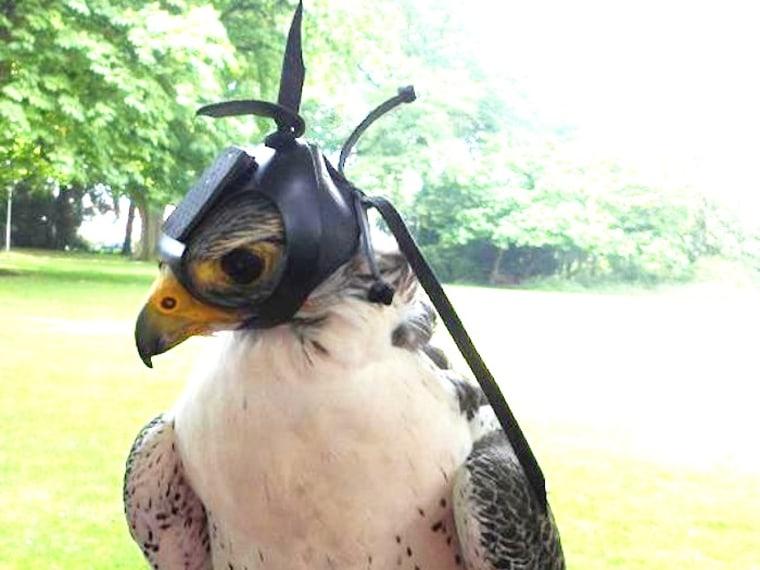 Image: Falcon-cam