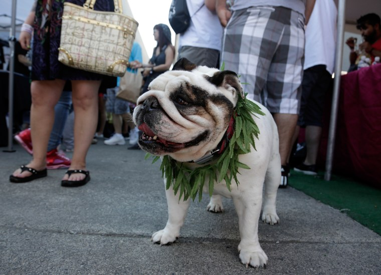 An English Bulldog wears a marijuana-leaf lei at the High Times U.S. Cannabis Cup in Seattle, Wash. Just don't let him eat it.