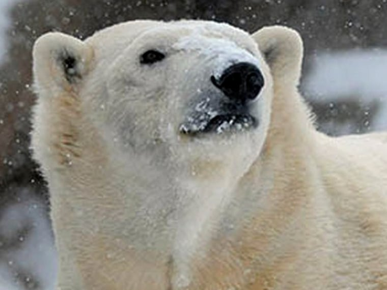 In this Sunday, Jan. 5, 2014 photo provided by the Chicago Zoological Society, Anana, a polar bear at Brookfield Zoo in Brookfield, Ill., seems to be ...