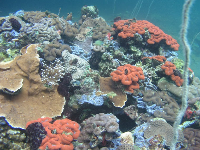 Despite living in waters that are more acidic than average seawater, the corals living in the bays around Palau's Rock Islands are unexpectedly diverse and healthy.