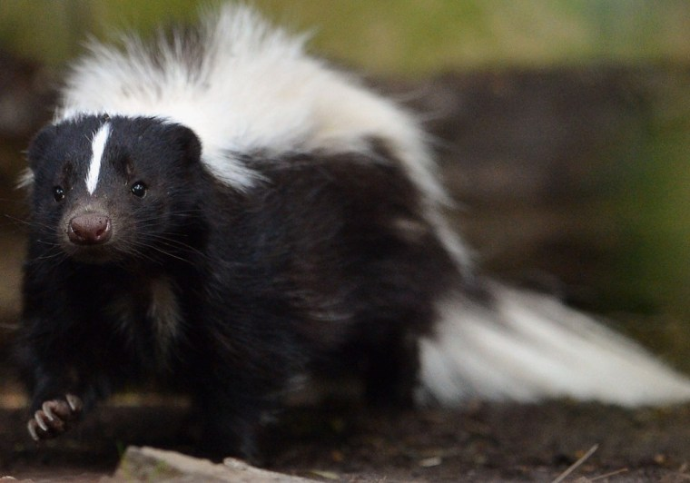 Striped skunks like this one are native to much of the Midwest, where drought has made them much more visible.