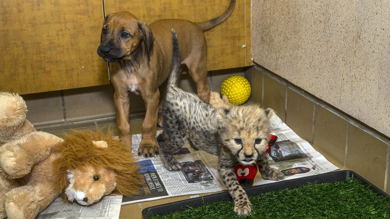 The San Diego Zoo Safari Park's 7-week-old cheetah cub Ruuxa is getting to know his new dog companion as the two continue to bond and spend time at th...