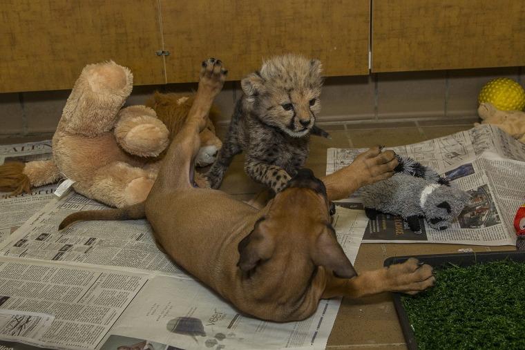 Cheetah and pup