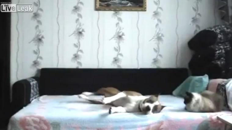 Viral video: dog dances on bed