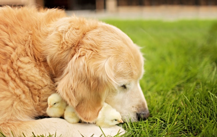 Dog snuggles with chicks