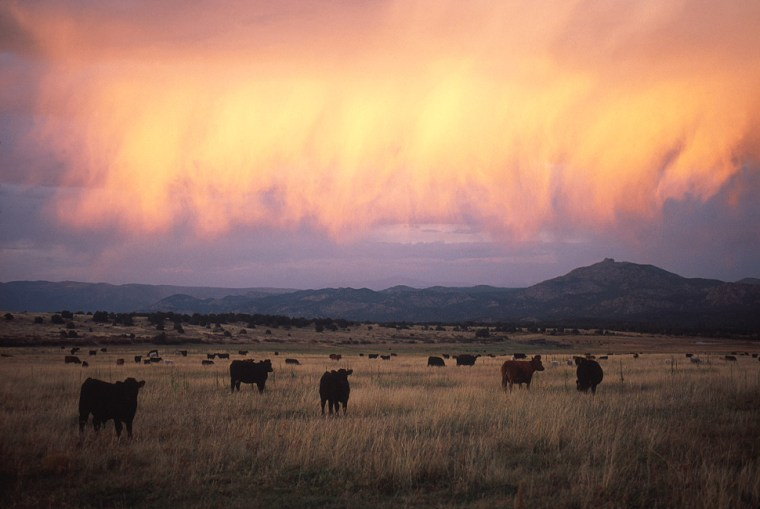 Buyers can help move cattle around at the Maytag Mountain Ranch. Bring your own cowboy hat.