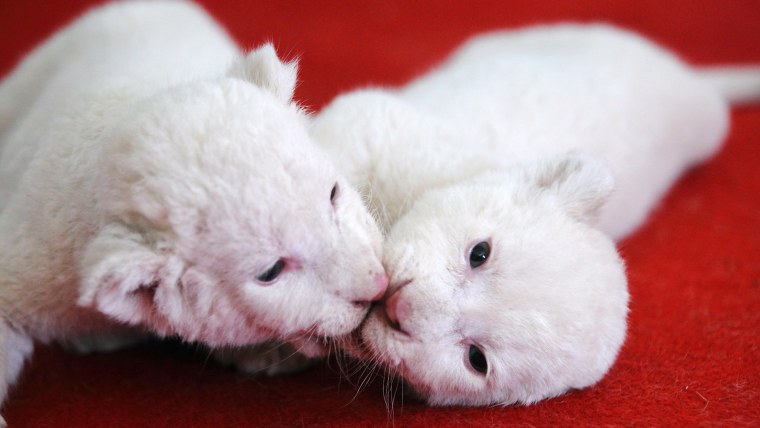 White lion cubs playing with each other in their enclosure in Hangzhou zoo