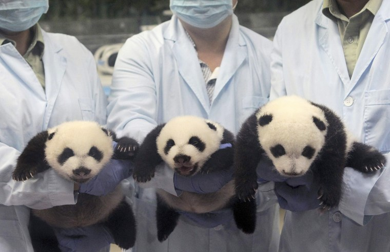 Feeders pose for photographs as they hold giant panda triplets, which recently opened their eyes, at Chimelong Safari Park in Guangzhou, Guangdong pro...