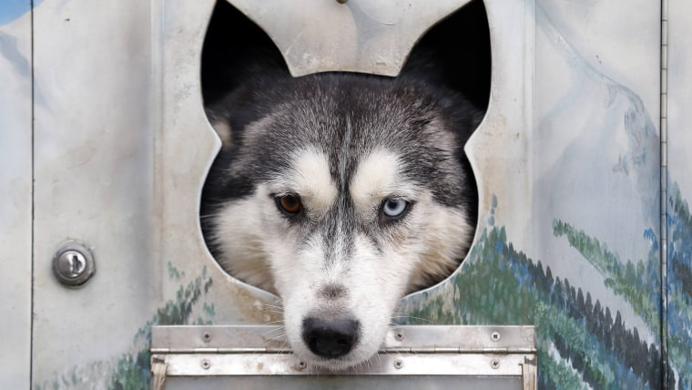 A dog rests in a cage during a sled dog European Championship in Venek November 22, 2014.  REUTERS/Laszlo Balogh (HUNGARY - Tags: ANIMALS SOCIETY)